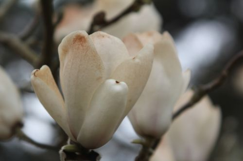 magnolia soul lennei alba gb 9 avril 2012 124.jpg