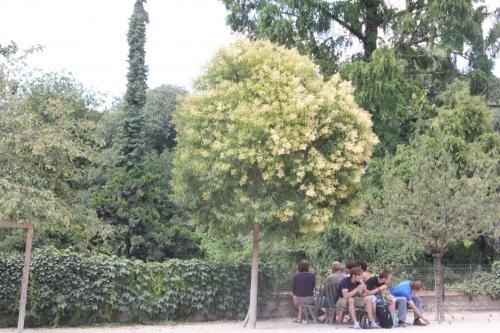 1 ligustrum lucidum paris 2 juil 2011 362.jpg