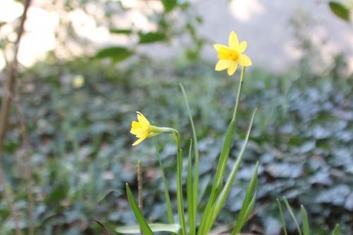 2 narcisse mini veneux 16 fev 2016 001.jpg