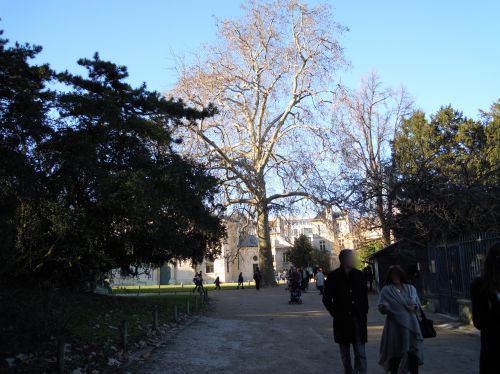 platanus entier paris 16 jan 465.jpg