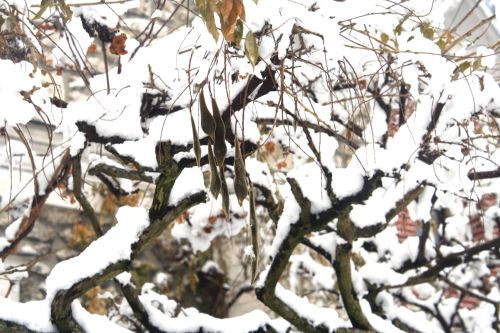neiges glycine 20 déc 2010 051.jpg