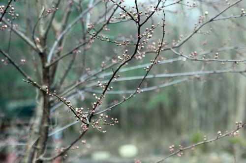 prunus sp romi 23 fev 2014 001 (1).jpg