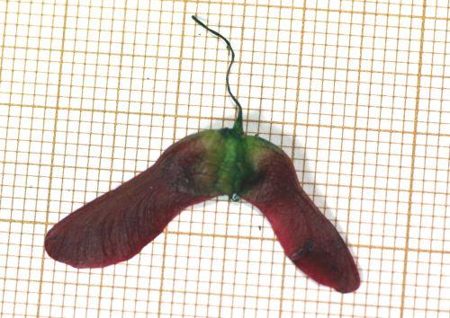 7 acer oliverianum 2 juin 2013 002.jpg