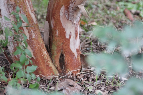 5 luma apiculata paris 10 fév 2015 110.jpg