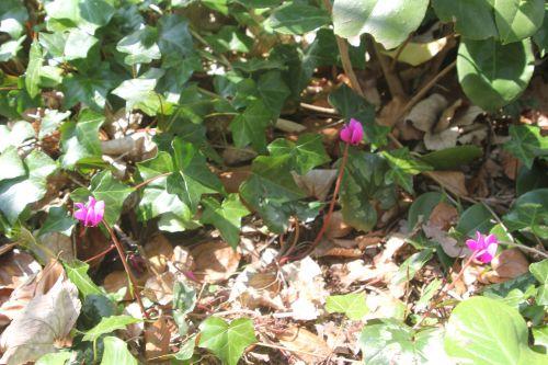 1 cyclamen pseudoibericum veneux 7 avril 2013 014.jpg