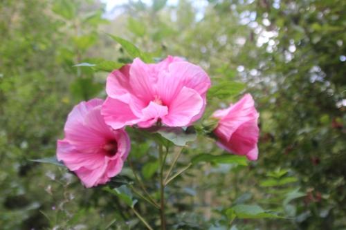 2 hibiscus moscheutos solene romi 11 sept 2016 102.jpg