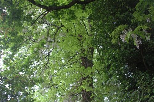 4 wisteria veneux 8 mai 2015 001.jpg