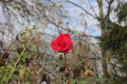 rosa romi 2 dec 2015 031.jpg