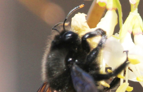 z xylocopa violacea mâle rec veneux 8 mars 2015 057 (6).jpg
