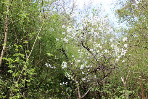 cerisier vieux romi 11 avril 2014 042.jpg
