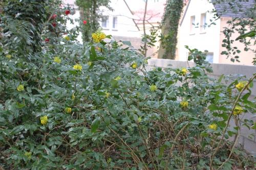 6 mahonia aqui veneux 5 avril 2015 024.jpg