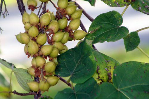c paulownia arbofolia 9 oct  2010 014.jpg