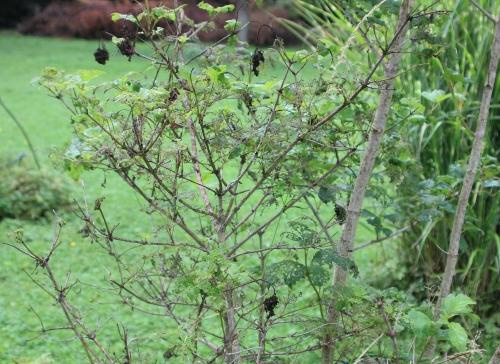 16 vib roseum trifouilly 9 juillet 2014 004 (3).jpg