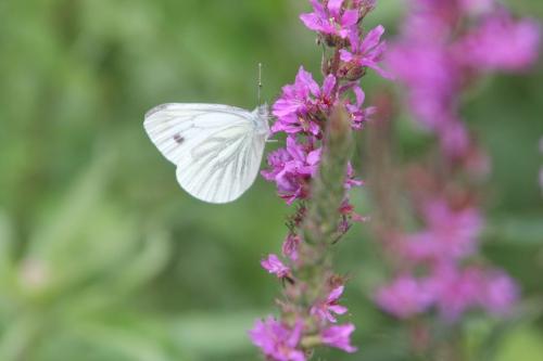 16 lythrum salicaria romilly 16 juil  2012 265.jpg
