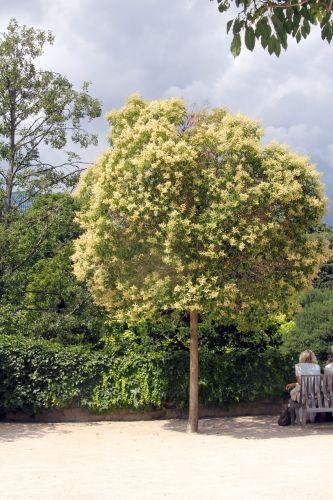 1 ligustrum lucidum paris 21 juil 2012 295.jpg