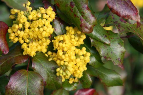 17 aquifolium 7 avril 003.jpg