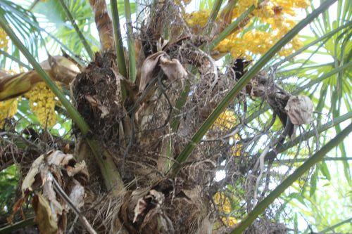 trachycarpus b marnay 1 juin 2013 013.jpg