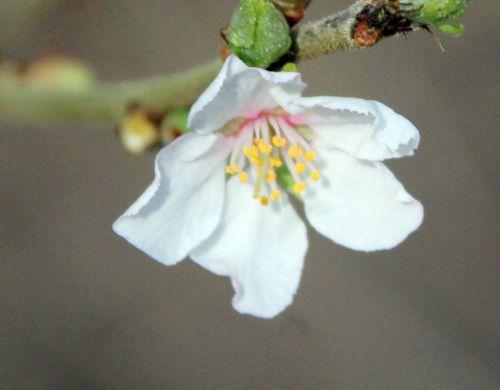 prunus tomentosa fl romi 8 mars 2014 053 (4).jpg