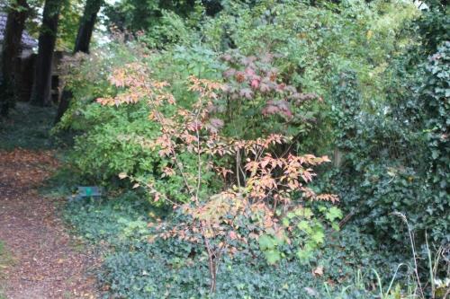 prunus autumnalis + hydangea quercifolia veneux 24 oct 2017 014.jpg