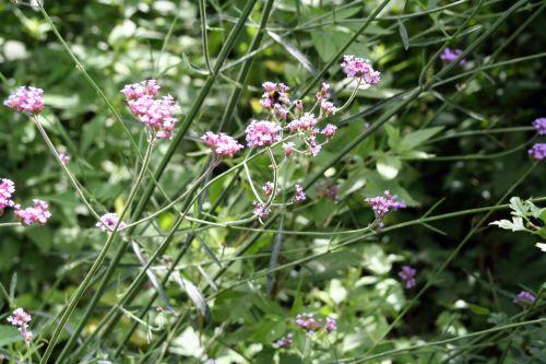 6 Verbena bonariensis romilly 24 juin 037.jpg