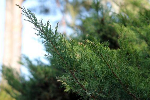 juniperis sqiamata gb 25 mars 2012 146 (5).jpg