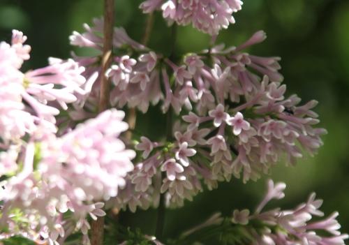 6 lilas minuet romi 18 mai 2015 050.jpg