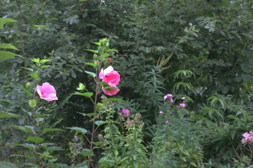 8 hibiscus planet solene romi 6 sept 2015 068.jpg