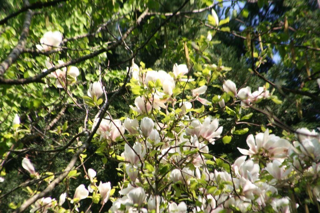 comment planter un magnolia sureaux. Black Bedroom Furniture Sets. Home Design Ideas