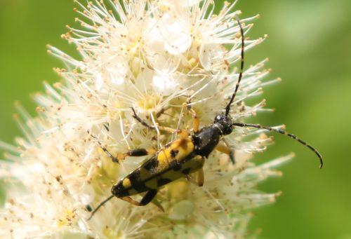 2 ruptela maculata romi 13 juin 2012 001 (100).jpg