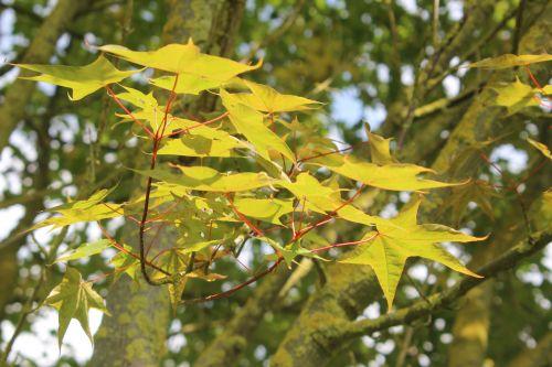 3 acer oliverianum marnay 1 juin 2013 121.jpg