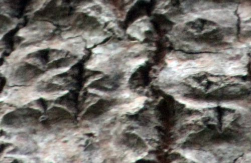 3 populus alba losange romi 7 nov 2013 047 (6).jpg