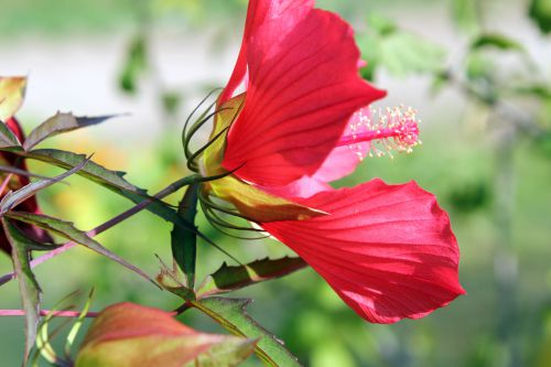 8 hibiscus coccineus.jpg