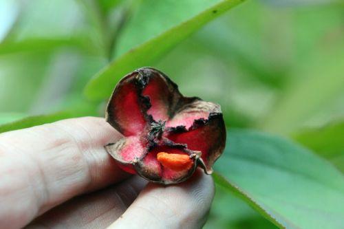 8 euonymus latifolius gb 16 sept 2012 068.jpg