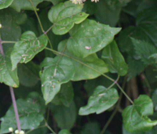 clematis feuilles 31 juillet 2008 088.jpg