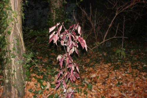 1 cornus florida cherokee daybreak 001 (5).jpg