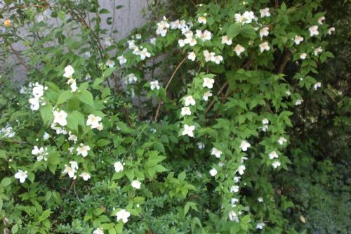 5 philadelphus veneux 10 juin 2015 006.jpg