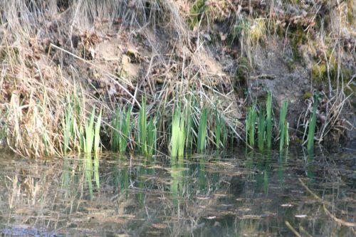 1 iris pseudacorus16 mars 017.jpg