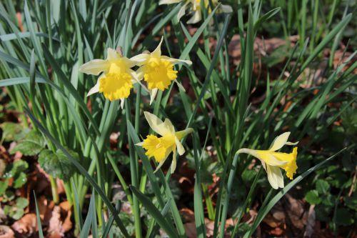 narcissus pseudo veneux 25 fev 2014 021.jpg
