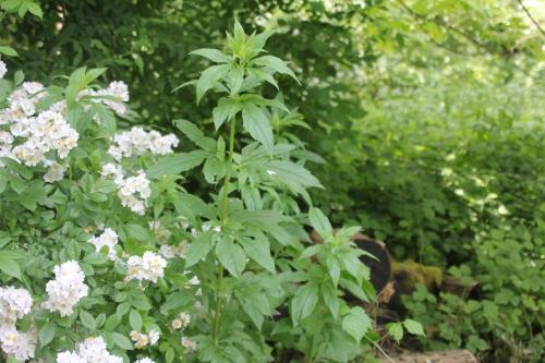 19 rosa multiflora romi 9 juin 2015 021 (17).jpg