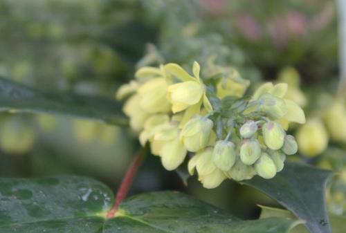5 mahonia japonica veneux 9 janv 2018 050 (3).jpg