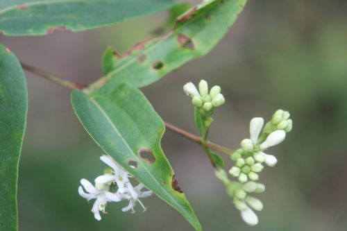 3 heptacodium romilly 30 août 2012 021.jpg