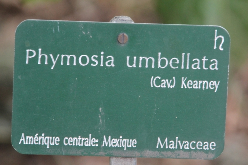 2 phymosia umbellata paris 10 fév 2015 031.jpg