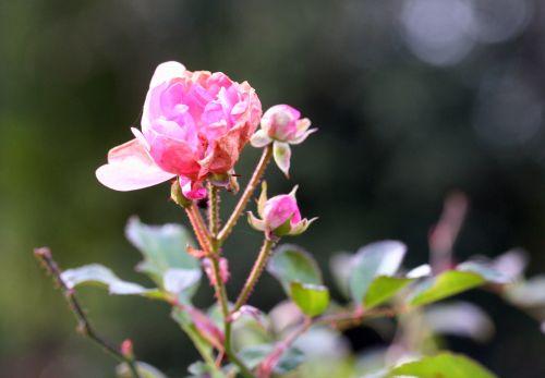 rosa kahn 13 dec 049.jpg