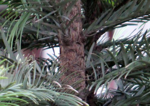 17 wollemia tronc paris 24 déc 2012 009.jpg