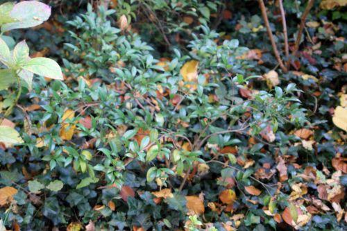 sasanqua veneux 27 oct 2012 001.jpg