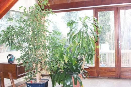 1 dracaena fragrans veneux 7 fev 2016 002 (1).jpg