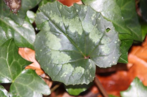 3 cyclamen pseudibericum veneux 4 janv 2014 008 (1).jpg