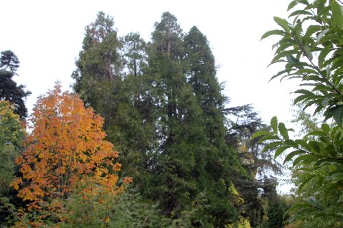 5 calocedrus barres 13 oct 2012 052.jpg