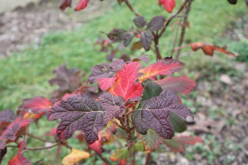 3 hydrangea quercifolia paris 24 déc 2012 077 (1).jpg