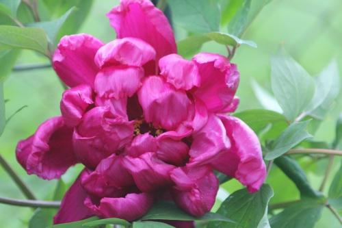 1 paeonia suff veneux 5 mai 2015 001 (1).jpg